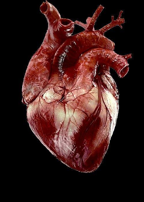 Hart dissectie